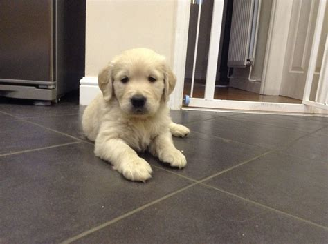 1 year golden retriever for sale beautiful golden retriever puppies for sale telford shropshire pets4homes