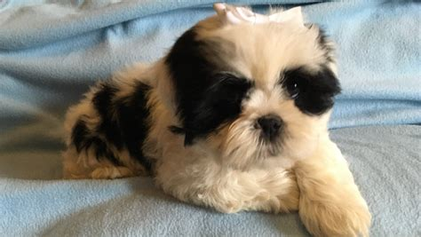 shih tzu mixed with lhasa apso 1 boy lhasa apso x shih tzu puppy ready now rotherham