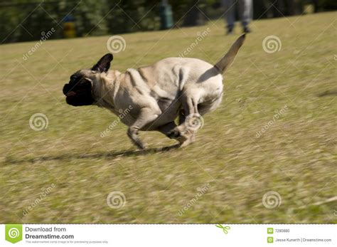 running pug pug running at park stock photo image of canine