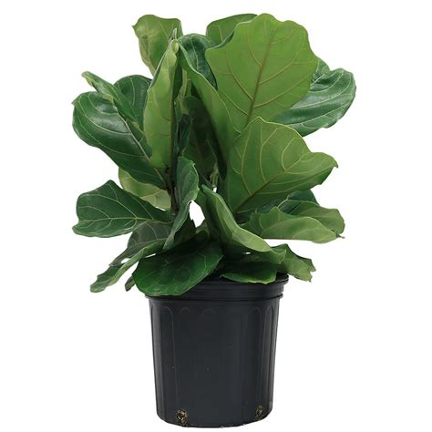 Used Kitchen Faucets costa farms ficus pandurata bush in 8 75 in grower pot