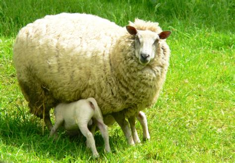 lambs and l free sheep and lambs 1 stock photo freeimages com