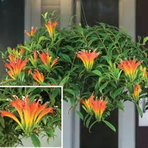 Indoor Container Garden - orange lipstick plant aeschynanthus xsplendidus logee s