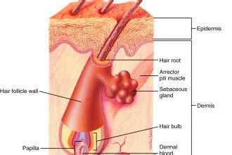 Hair Follicle Structure Diagram
