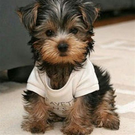 yorkie runt morkie chiens et chats pup and animal