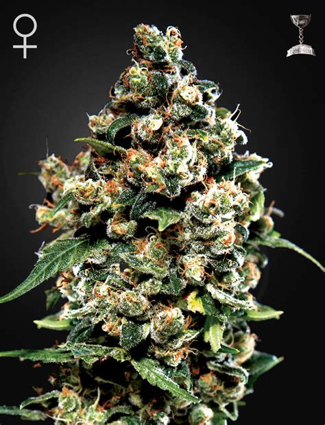 green house seed co jack herer 174 feminised by green house seed company amsterdam