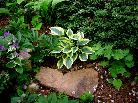 miniature small hostas carolyn s shade gardens