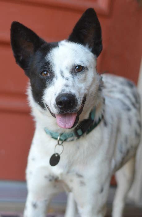 puppy rescue mn australian cattle rescue minnesota givemn