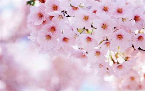 Flower Blossom Wallpaper | sakura flower wallpapers wallpaper cave