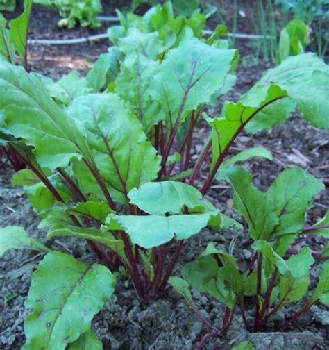 vegetables 4 hours sunlight shade tolerant vegetables vs sun friendly veggies the
