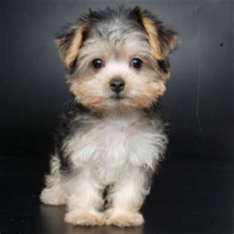 yorkie club of america breeders yorkie maltese mix 10 interesting facts that you must espoir chiapas