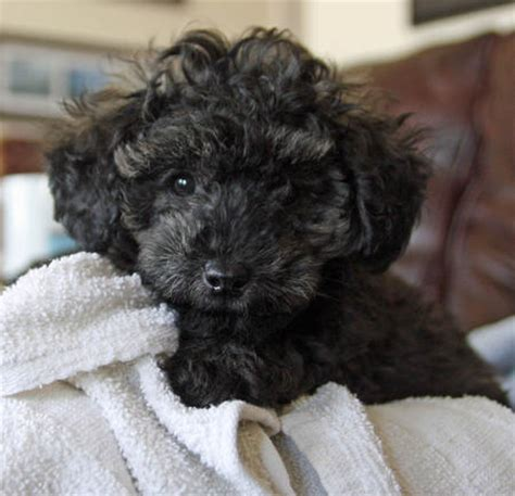 pitbull poodle mix puppies sale beagle schnauzer mix puppies breeds picture
