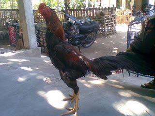 Jual Bibit Ayam Bangkok Import jual ayam bangkok petruk ayam bangkok aduan budidaya ayam birma saigon import ayam