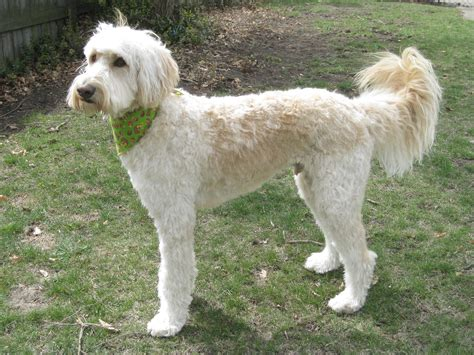 labradoodle grooming cuts picture f1 labradoodle short cut google search floor plans i
