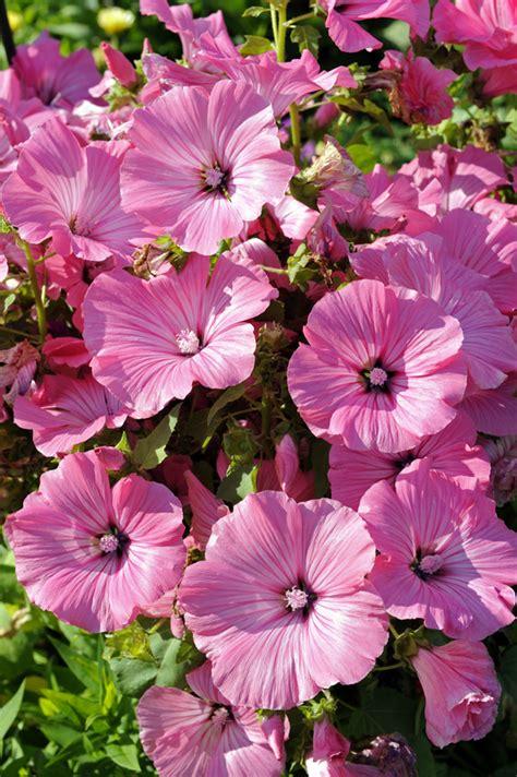 Winterharte Blumen Die Lange Blühen 120 by Sommerblumen Im Staudenbeet Gartenzauber