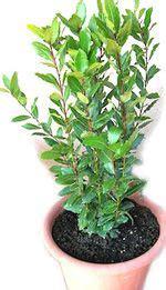 pianta di alloro in vaso alloro laurus nobilis l detto anche lauro uso
