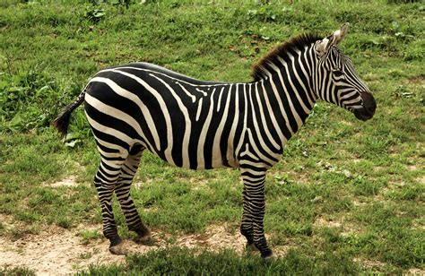 Zebra Free Search Zebra Word Search Play Free Word Search Ozzoom Planet Ozkids