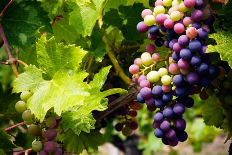 Do You To Use Organic Grapes For A Detox by How To Thin Grapes In The Home Garden