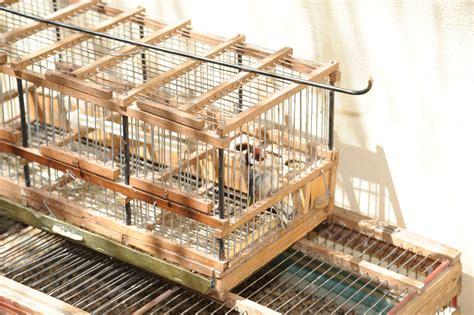 riproduzione cardellini in gabbia provava a cattura cardellini arrestato a castelbuono