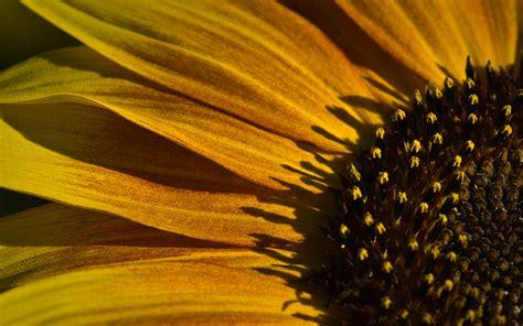 sunflower desktop background wallpaper hope  enjoy
