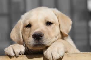 Lab Puppies Labrador Retriever Puppy Hd Wallpaper Animals Wallpapers