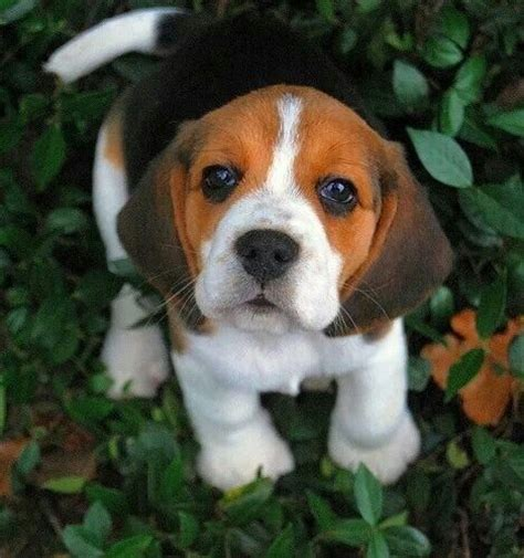 how much are beagle puppies adorable beagle puppy by