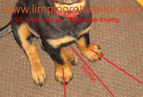 problems with rottweilers pictures of rottweiler puppy with dysplasia taken from an erly age before the