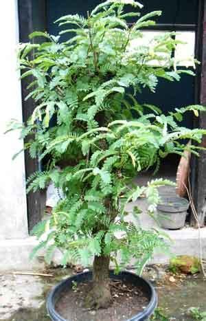 merapikan bakalan bonsai asam jawa daun ijo