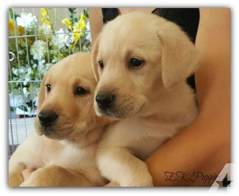 labrador puppies oregon labrador retriever puppies for sale in oregon city oregon classified americanlisted