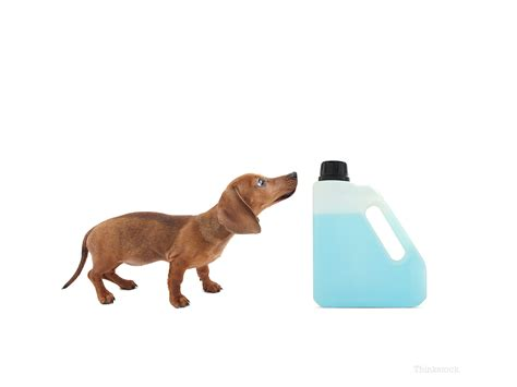 dogs and antifreeze antifreeze is toxic to dogs learn the essential facts that can save your s