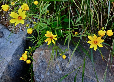 Bidens Pflanze by Tickseed Sunflower Uses In The Garden Tips For Growing