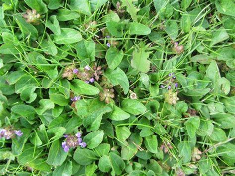 Unkraut Im Rasen Vernichten 20 by Unkraut Im Rasen Ursachen Vorbeugung Bek 228 Mpfung Ein