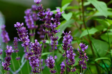 Lavender Flowers lavender plants landscaping uses care