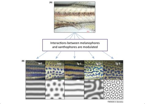 Pigment Pattern Formation By Contact Dependent Depolarization | is pigment patterning in fish skin determined by the