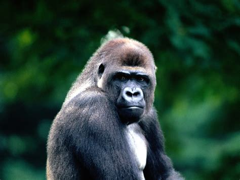 western gorilla animal wildlife