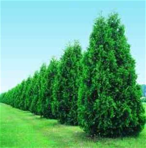 fast growing maple trees thuja gardens trees hedges and the o jays on pinterest