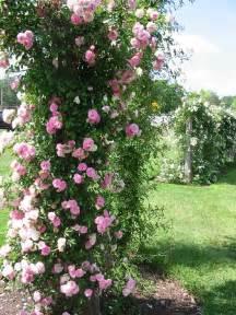 top 10 roses in the world climbing rose gardening