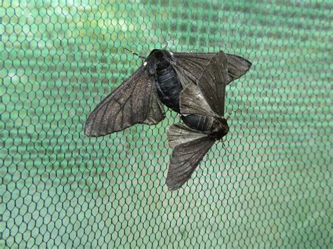 Peppered Moth jumping gene took peppered moths to the side