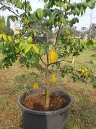 Bertanam Belimbing cara menanam belimbing dalam pot budidaya tanaman