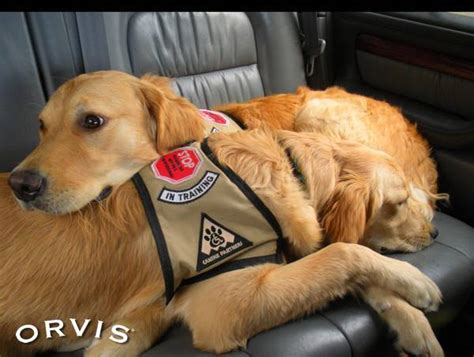 what do service dogs do what s the difference between therapy dogs and service dogs and why does it matter