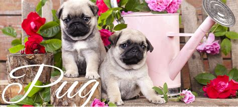 pugs for sale miami pug for sale in miami pug puppy store doral pug puppy place in miami pug puppy
