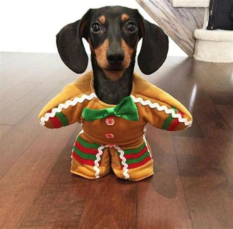 weiner costumes 17 best ideas about dachshund costume on dachshund weiner dogs and