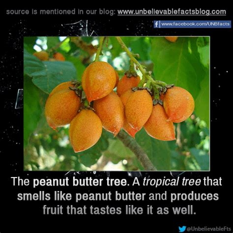 tree that smells like oranges facts