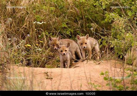 are foxes related to dogs foxes vulpes vulpes small animals related to the