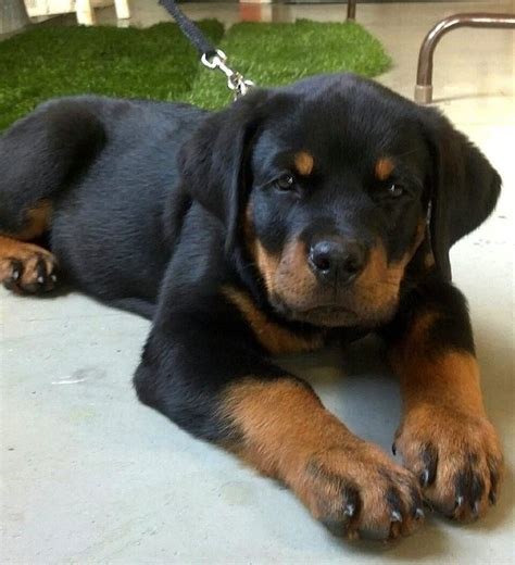 where to find rottweiler puppies best 25 rottweiler puppies ideas on rottweiler baby rottweiler and