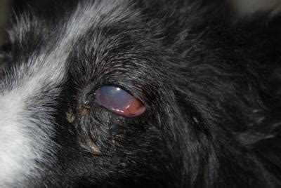 eye diseases in dogs 07 15 14 eye issues