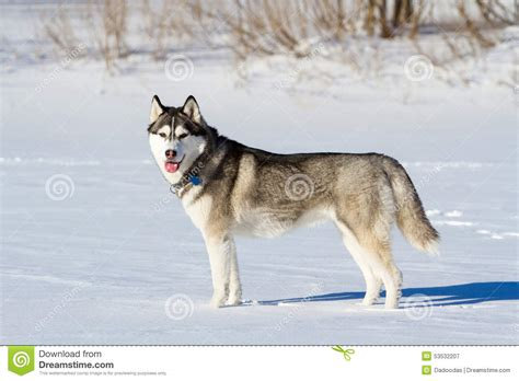 snow breeds husky breed of in the snow stock photo image 53532207