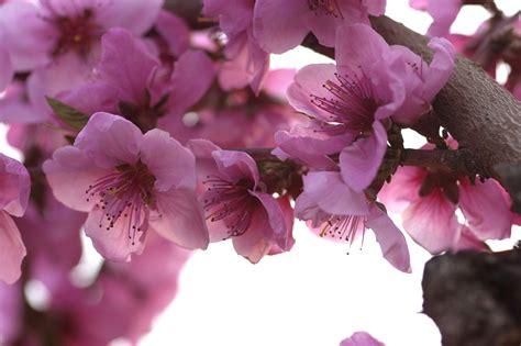 sfondi fiori di pesco flora e fiori by mastro78 juzaphoto