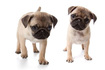 how do pugs stay pug for sale teacup pugs for sale pug puppies sale baby pugs for sale san diego puppy
