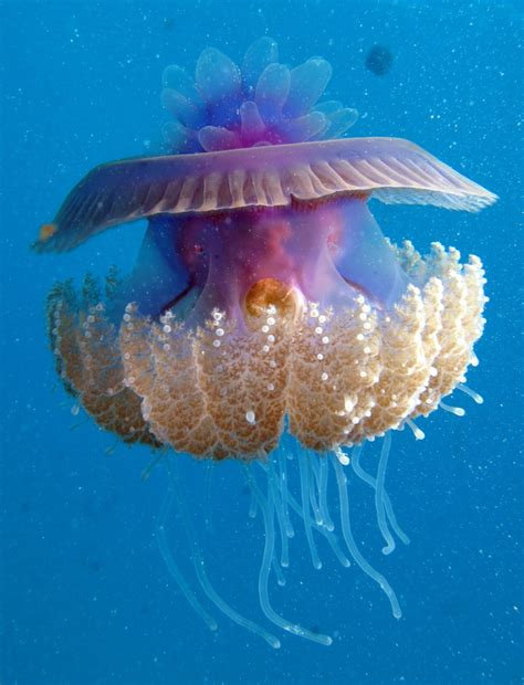 Jellyfish L raising pet jellyfish jellyfish species index
