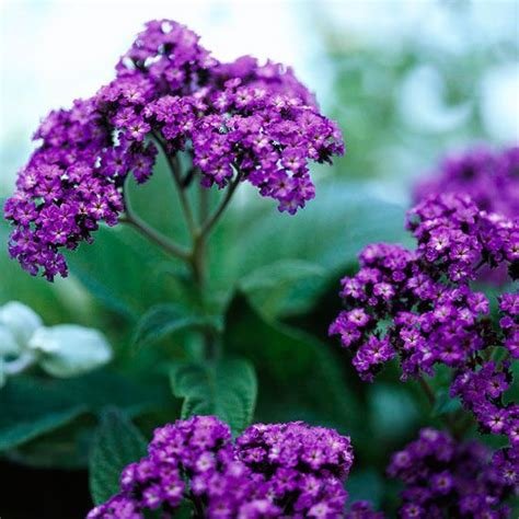 29 Best Fragrant Flowers Images On Pinterest Flowers Fragrant Flowers For Garden